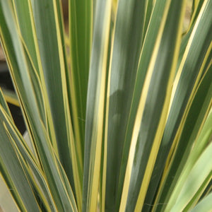 Yucca Bright Edge- Evergreen Shrub 3L