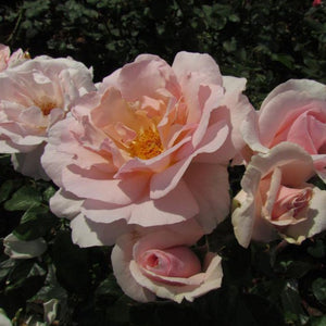 Rose Hybrid Tea 'A Whiter Shade of Pale' - 4.5 litre Pot Premium Plant - Bells Gardening