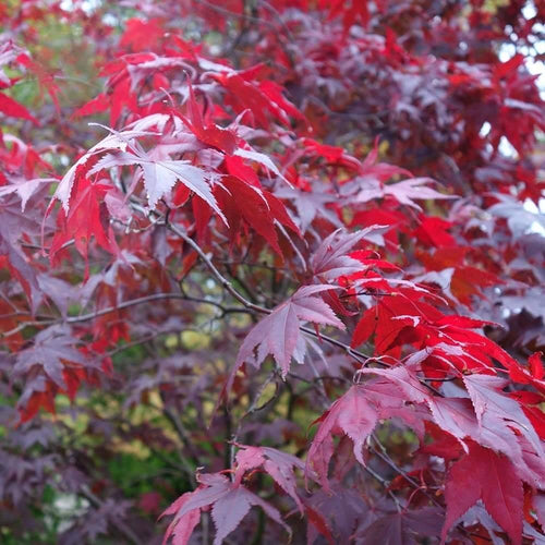 Acer Atropurpurea Ornamental Tree- 3L Pot