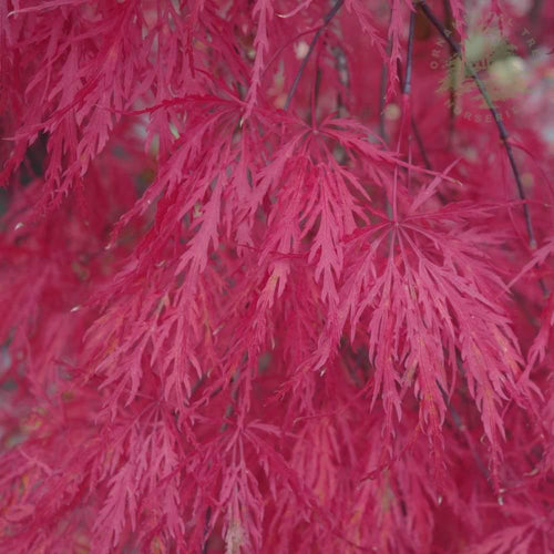 Acer Crimson Princess Patio Ornamental Tree- 7.5L Pot