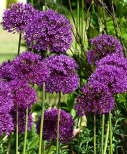 Load image into Gallery viewer, allium aflatunense purple sensation spring bulbs in a 2 Litre pot