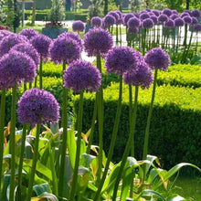 Load image into Gallery viewer, Allium Globemaster - 2L Pot