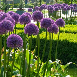 Allium Globemaster - 2L Pot