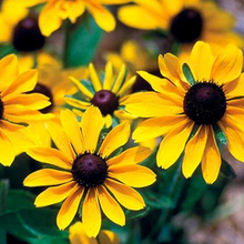 Load image into Gallery viewer, Rudbeckia Hirta 'Toto Gold' - 10.5cm Pot