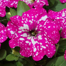 Load image into Gallery viewer, Petunia Baby Doll - 10.5 Pot
