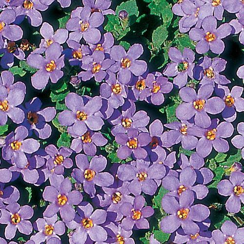 Bacopa Blue - 9cm / 10cm pot - Bells Gardening