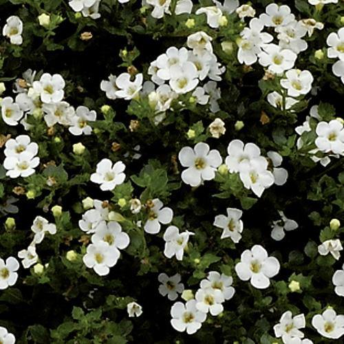 Bacopa White - 9cm / 10cm pot - Bells Gardening