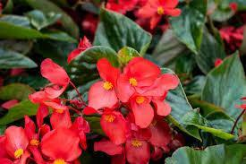 Begonia Green Leaf Red - Garden Ready Bedding 6 Pack