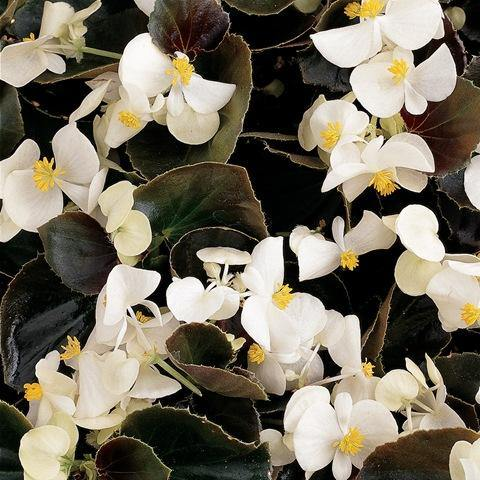 Begonia Ascot Bronze Leaf White- Garden Ready Bedding 6 Pack