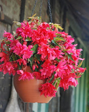 Load image into Gallery viewer, Begonia Pendula Pink