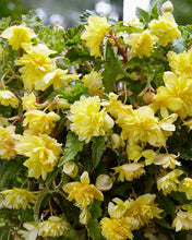 Load image into Gallery viewer, Begonia Pendula Yellow
