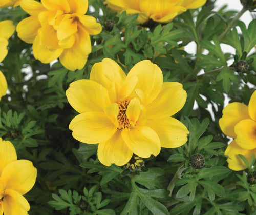 Bidens Goldstrike Yellow - 10.5cm