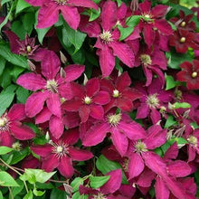 Load image into Gallery viewer, Clematis Ernst Markham - 3L Pot