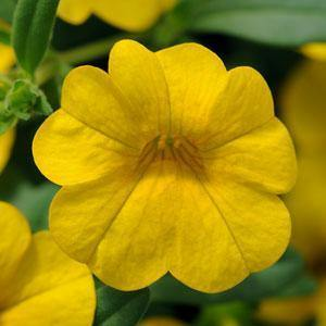 Petunia Calibrachoa Yellow - 10.5cm