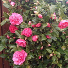 Load image into Gallery viewer, Camellia Antcipation - 2L Pot - Bells Gardening