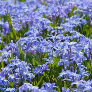 Chionodoxa Luciliae Flower Bulbs Blue Spring Flowers.- Pack of 10