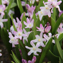 Load image into Gallery viewer, Chionodoxa Forbesii Pink Giant Spring Bulbs-Garden Ready 9cm Pot - Bells Gardening