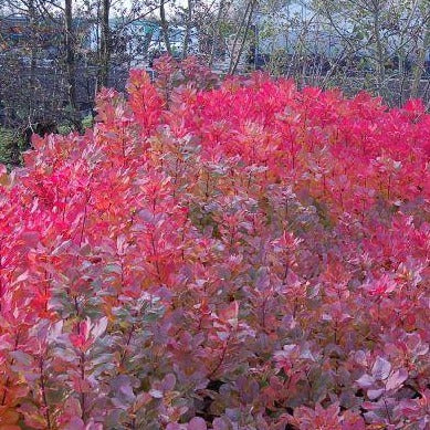 Cotinus coggygria 'Old Fashioned' 3L - Bells Gardening
