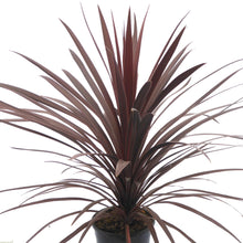 Load image into Gallery viewer, Cordyline Red Star- Evergreen Tree 17cm - Bells Gardening