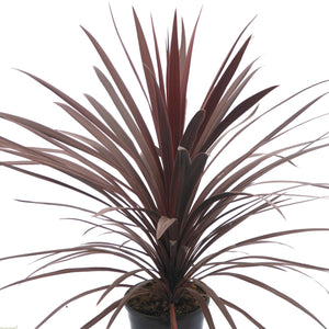 Cordyline Red Star- Evergreen Tree 17cm - Bells Gardening