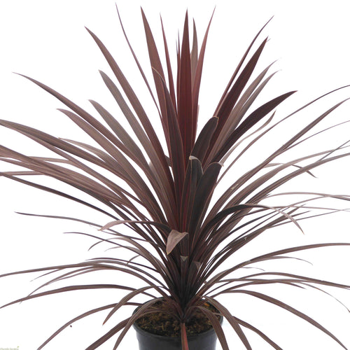 3x Cordyline Red Star hardy plant- Evergreen Tree 40-60cm tall.