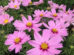 Cosmos Pink- 1 litre