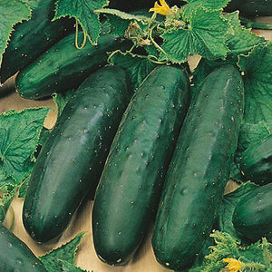 Cucumber Marketmore - 9cm Pot