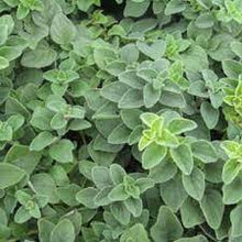 Load image into Gallery viewer, Origano Origanum Vulgare - 9-10.5cm Pot