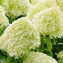Load image into Gallery viewer, Hydrangea Paniculata 'Limelight' - 3L Pot