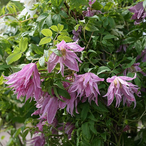 Clematis 'Ballet Skirt'- 2-3L Pot
