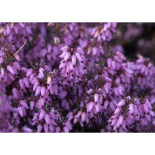 Erica carnea 'March Seedling' - 1 litre garden ready plants