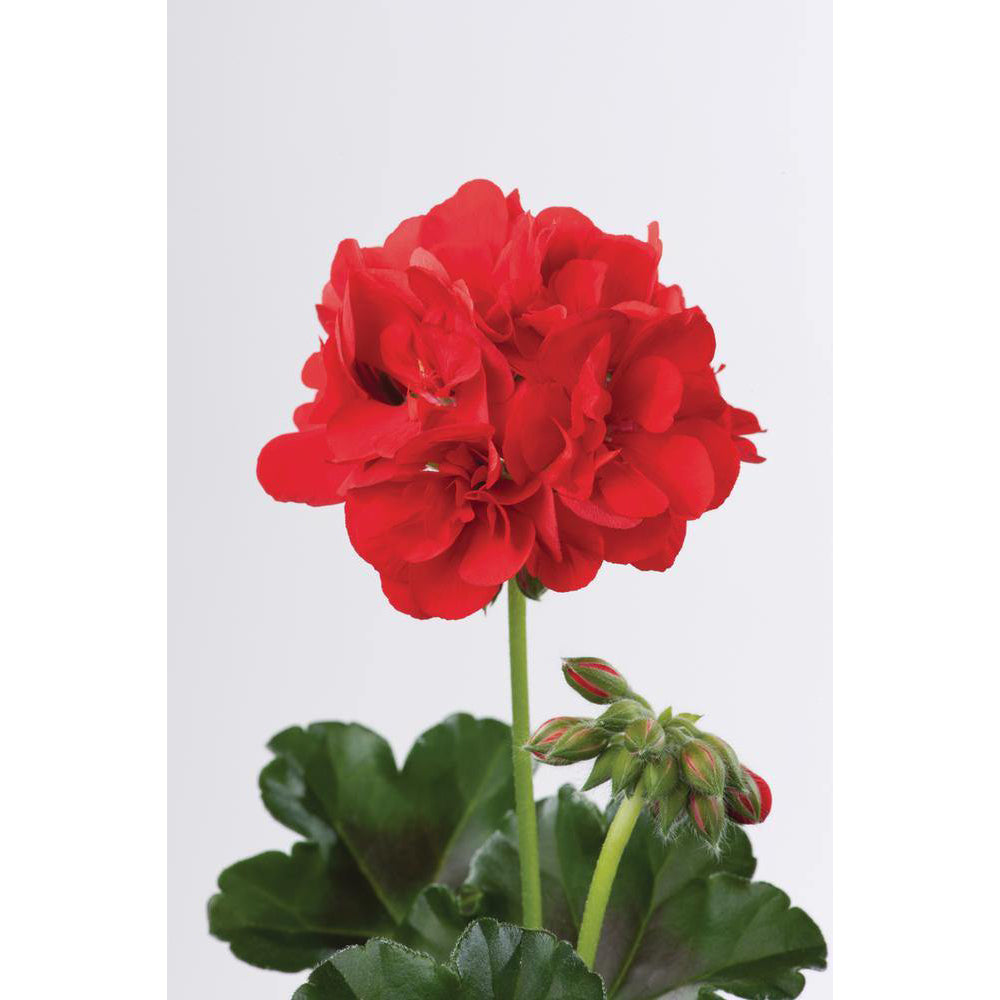 Geranium Trailing Ivy Leaf Red Primo Falco - 10.5cm