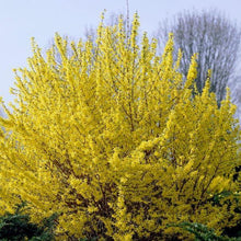 Load image into Gallery viewer, Forsythia Minigold- 3L Pot - Bells Gardening