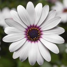 Load image into Gallery viewer, Osteospermum White - African Daisy - Cape Daisy - 1L Pot