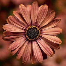 Load image into Gallery viewer, Osteospermum Terracotta - African Daisy - Cape Daisy - 1L Pot