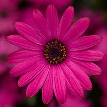 Load image into Gallery viewer, Osteospermum Rose - African Daisy - Cape Daisy - 1L Pot - Bells Gardening