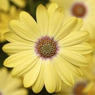 Osteospermum Yellow Bi Colour - African Daisy - Cape Daisy - 1L Pot - Bells Gardening