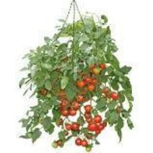 Tomato Hanging Basket Tumbling Tom- 25cm