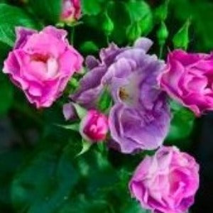 Rose 'Blue For You'- Potted Floribunda Rose Bush - supersized 5 litre pot