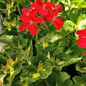 Geranium Fancy Leaf  'Happy Thought Red' - 10.5cm