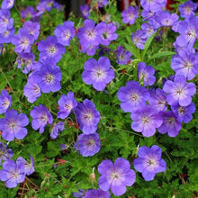 Load image into Gallery viewer, Geranium Rozanne Perennial  - 1.5L Pot - Bells Gardening