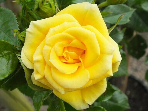Patio Rose ' Flower Power Gold' 3L