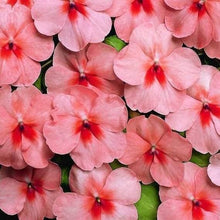 Load image into Gallery viewer, Impatiens Salmon Peach Splash- Garden Ready Bedding 6 Pack