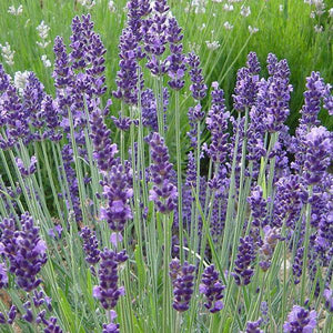 Lavender Blue - 14cm Pot - English Lavender