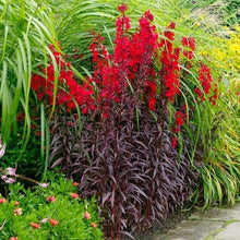 Load image into Gallery viewer, Lobelia cardinalis 'Queen Victoria' Perennial  - 1 L Pot