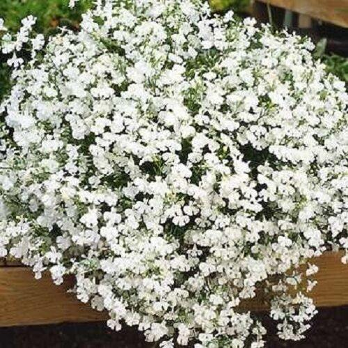 Lobelia Fountain Trailing White- Garden Ready Bedding 6 Pack