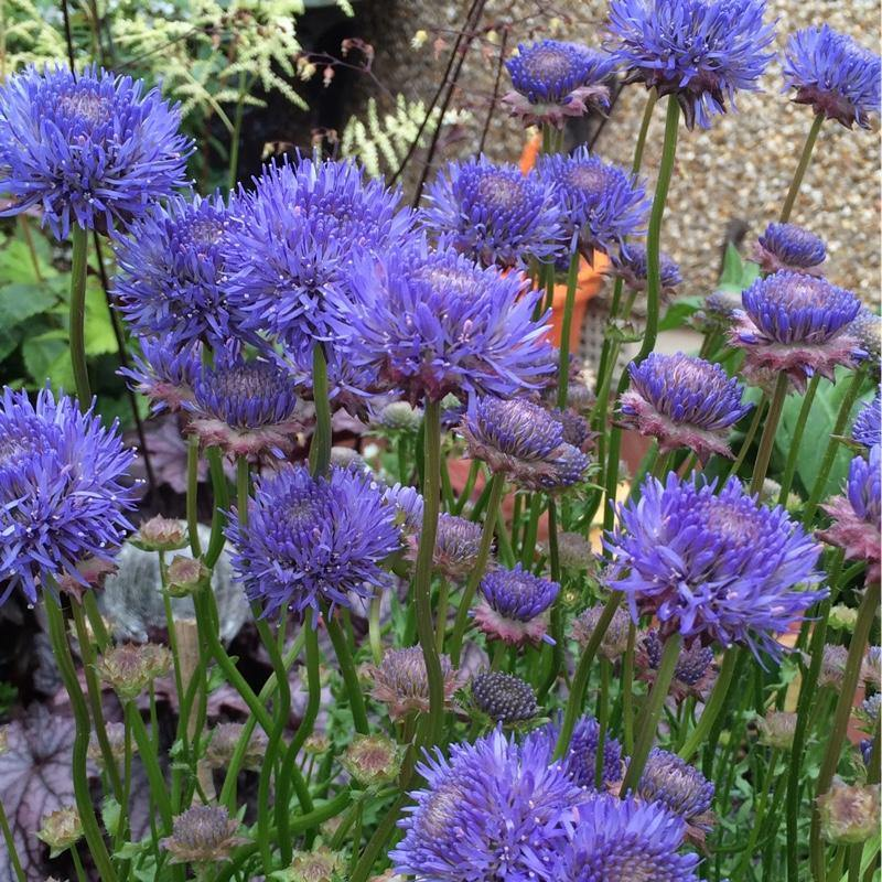 Jasione laevis 'Blue Light' - Alpine and Rockery - Perennial - 9cm Pot - Bells Gardening