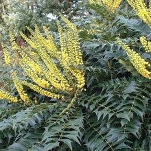 Load image into Gallery viewer, Mahonia Charity-  3L Pot