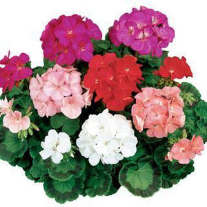 Geranium Ringo Mixed - Garden Ready Bedding 4 Pack - Bells Gardening