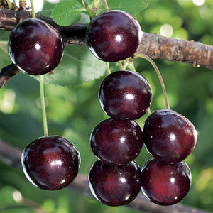 Potted 7.5L Cooking Cherry 'Morello' Prunus Cerasus Fruit Tree
